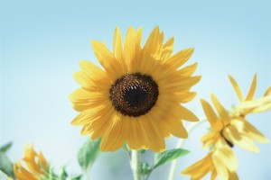 sunflower - loyalty and longevity